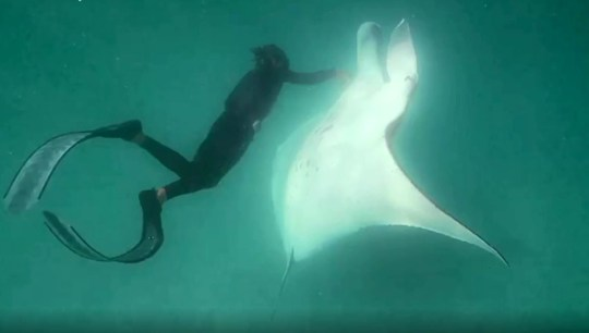 Picture: 4Media Group/ Tourism Western Australia Moment wounded manta ray approaches humans for help