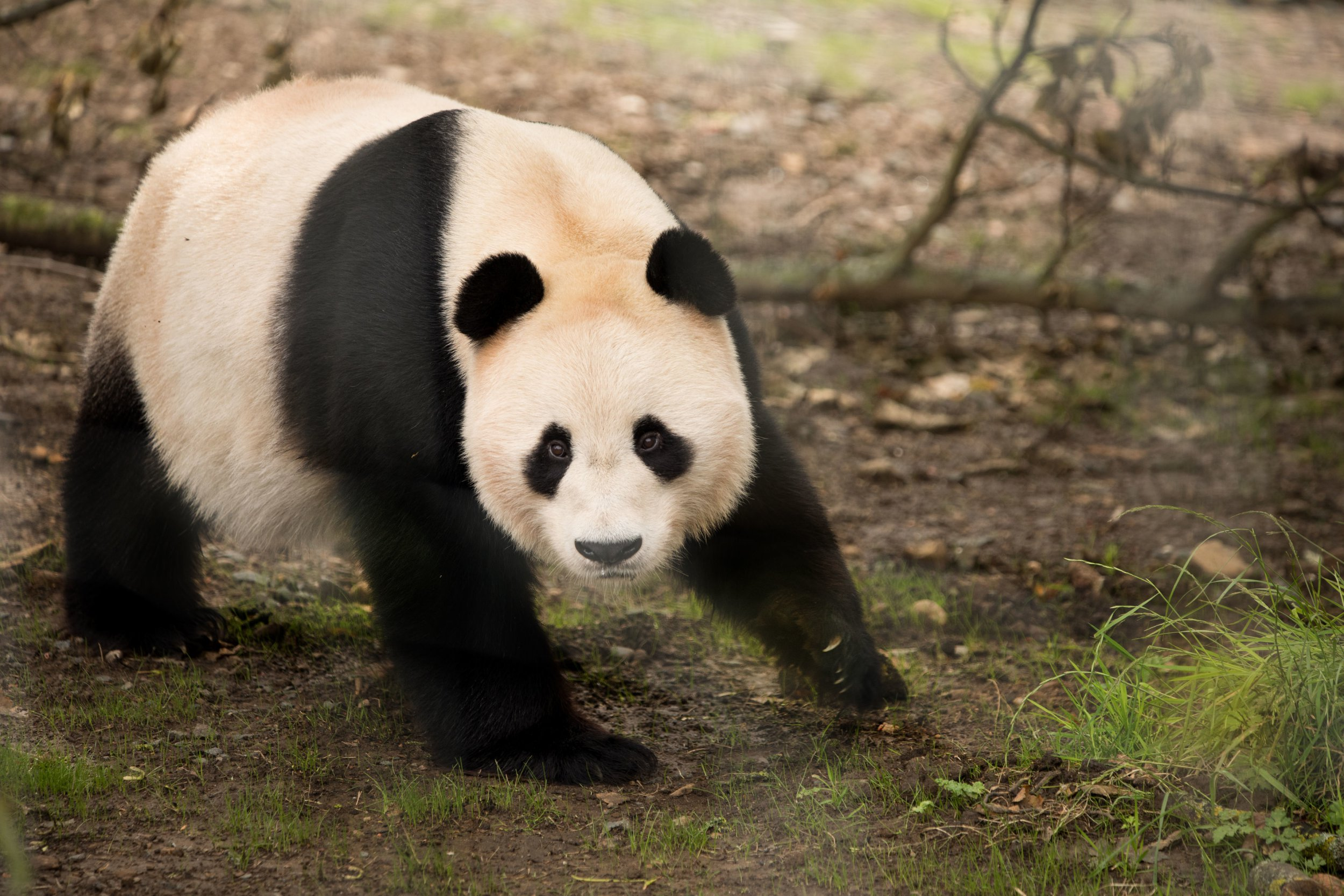 first pictures of yang guang the giant male panda enjoying new home at edinburgh zoo [ 2500 x 1666 Pixel ]