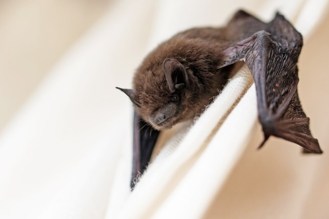 common pipistrelle (Pipistrellus pipistrellus) a small bat has strayed into the room and climbs on a white curtain, closeup with copy space, selected focus, narrow depth of field