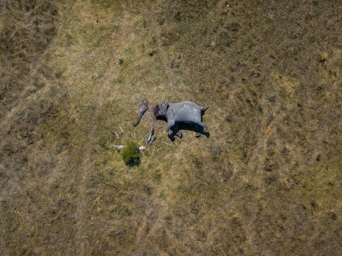 Brutal image shows elephant with trunk and tusks cut off