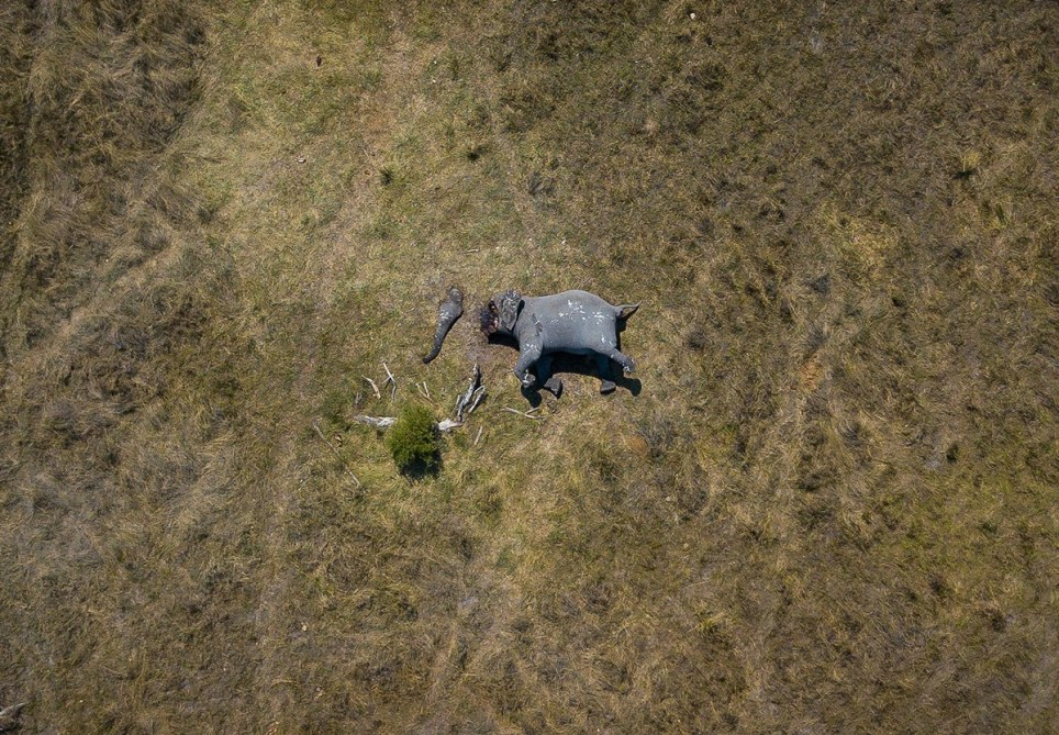 Pic from Justin Sullivan/Magnus News. Pic shows a drone photograph called ???Disconnection??? taken by Justin Sullivan of an elephant which had just been poached in Northern Botswana. The image has now been entered into an international photo competition and the results will be announced in September 2019,Magnus News Agency newsdesk@magnusnewsagency.com +44(0)1216240504DEATH FROM ABOVE ??? PHOTOGRAPHER CAPTURES STUNNINGLY STARK IMAGE OF POACHED ELEPHANT LYING ALONE IN THE AFRICAN BUSH WITH PIX By Magnus News AgencyThis stunningly stark photograph shows the brutality of poaching death from above with a lone mutilated African elephant killed for its ivory. The drone photograph called ???Disconnection??? was shot in Northern Botswana by award-winning documentary filmmaker Justin Sullivan. His different perspective on the barbaric death of this mighty animal puts the crisis sweeping Africa in a whole new light, especially with Botswana recently lifting a hunting ban on elephants. The blood and gore of the carcass is muted by the distance above, but the reality of the elephants death and its severed trunk are all still visible. Poachers used a chainsaw to cut off the trunk and tusks, just 20 minutes away from a nearby camp. Poaching in Botswana is increasing rapidly, with an estimated increase of carcasses by 593% in the Northern parts of the country from 2014 to 2018.The photograph has now been selected for the prestigious Andrei Stenin International Press Photo Contest, the results of which will be announced in September.Justin, 28, from Cape Town, South Africa, said he was filming for a private company in Botswana and overheard rangers talking about the poached elephant.He said: ???They said an elephant had just been poached and I asked to be taken to the site. On arrival I used a drone to capture the image. ???The image is called ???Disconnection???, the perspective of the image gives context to the situation which you would never be able