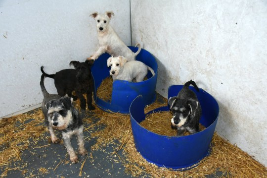 The terrible conditions at ?the largest puppy farm in Scotland?, owned by Frank James, 53, and Michelle Wood, 29, - who have been convited of animals cruelty offenses. See SWNS story SWSCdogs. Cruel breeders who owned the ?largest puppy farm in Scotland? and are thought to have burnt the corpses of dead dogs in a van were convicted of animal cruelty offences. Frank James, 53, and Michelle Wood, 29, kept nearly 100 dogs, including Springer spaniels and terriers, in ?disgraceful? conditions at a squalid farm in Aberdeenshire. Investigators said the set-up was like a ?battery farm for pups?. James was banned from keeping more than two dogs in 2013, but is thought to have flouted that ban and continued regardless.