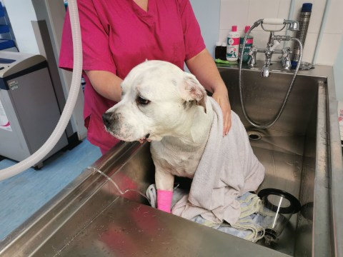 Dog almost died after overheating in UK heatwave while walking in park