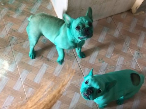Bulldogs turn completely green after being left alone in the kitchen with food colouring