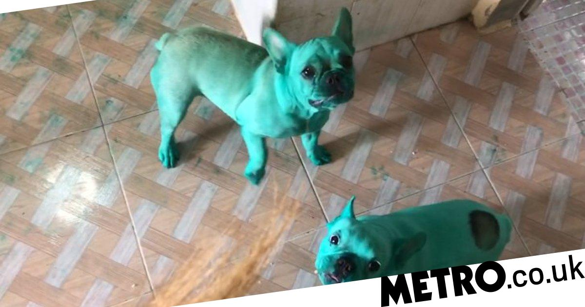Bulldogs turn completely green after being playing with food colouring