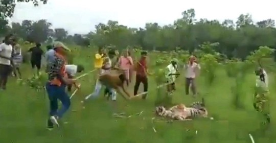WATCH the heartbreaking moment a five-year-old tiger was beaten to death by a mob of angry villagers. The video shows the angry villagers first capturing the big cat and then beating it with sticks as the animal growls for mercy. The villagers continuously shout charge at the feline. According to the forest officials, the tiger had injured nine villagers including one Shyam Mohan on Thursday. The villagers then intercepted the animal and trapped it only to beat it with sticks badly. The tiger succumbed to its injuries a few hours later. Mediadrumimages / News Fiesta