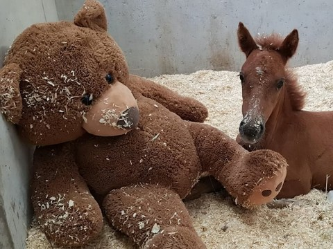 Ava the orphaned pony is so tiny even her teddy bear is bigger than her
