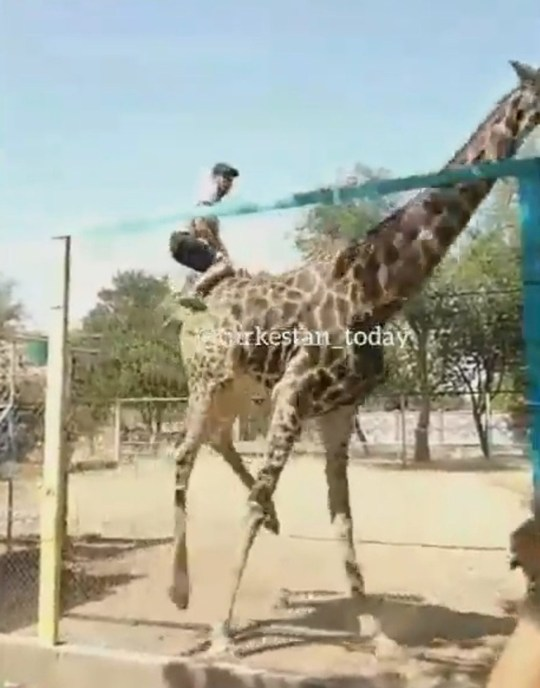 Pic shows: The giraffe knocks the man off. Police in Kazakhstan are hunting a drunken zoo visitor who clambered up a huge fence in order to jump on the back of a shocked giraffe.