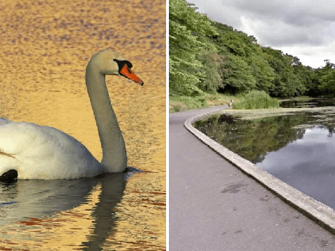 Swan beats dog to death in park pond