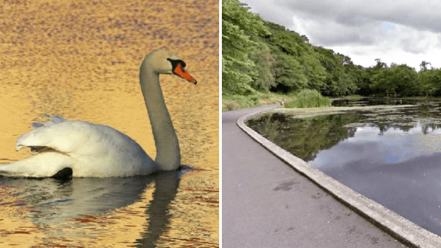 Witnesses described seeing the swan attack the dog in the pond