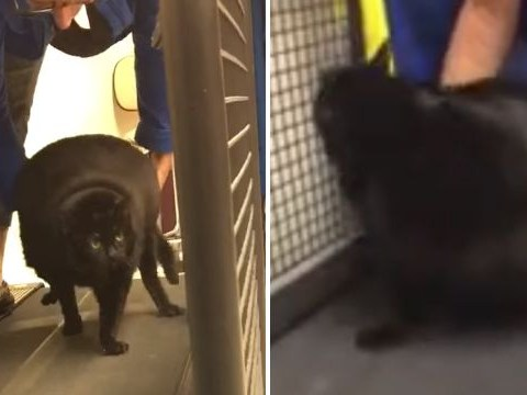 Obese cat claws at woman after being put on treadmill to lose weight