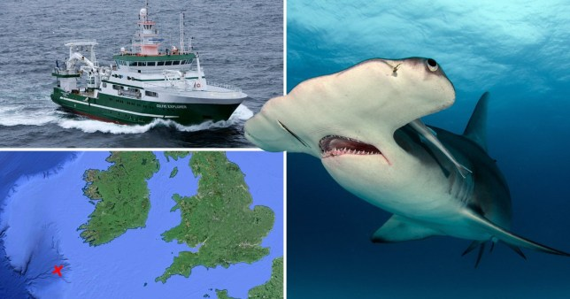 A Great Hammerhead has been spotted off the coast of Cornwall