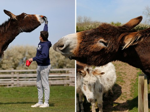 Derrick is on verge of becoming the world's tallest donkey