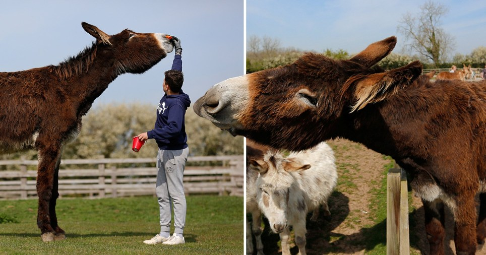 Derrick the donkey hasn't stopped growing just yet (Picture: SWNS)