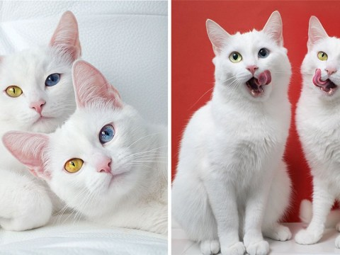 We've fallen in love with these cat twins who have different coloured eyes