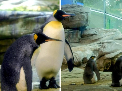 Gay penguins to become dads after being given abandoned egg