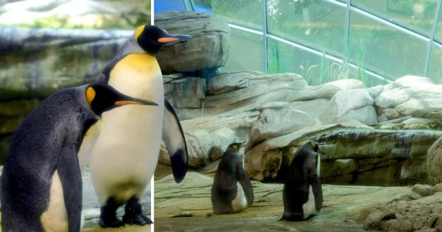 Gay penguins Ping and Skipper have adopted an egg that was abandoned by its mother (Picture: Reuters)