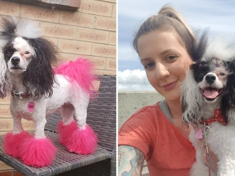 Dog owner accused of animal cruelty after dyeing her poodle pink