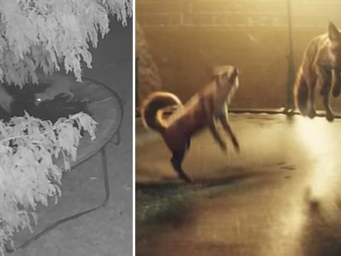 Foxes have time of their life as they jump on trampoline