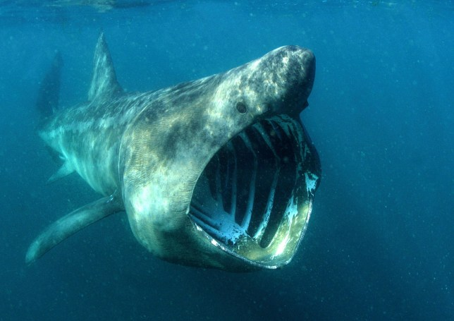 EMBARGOED TO 0001 TUESDAY AUGUST 6 Undated handout photo issued by WWF showing a basking shark with its mouth wide open. PRESS ASSOCIATION Photo. Issue date: Tuesday August 6, 2019. See PA story ENVIRONMENT Sharks. Photo credit should read: Alan James/WWF/PA Wire NOTE TO EDITORS: This handout photo may only be used in for editorial reporting purposes for the contemporaneous illustration of events, things or the people in the image or facts mentioned in the caption. Reuse of the picture may require further permission from the copyright holder.