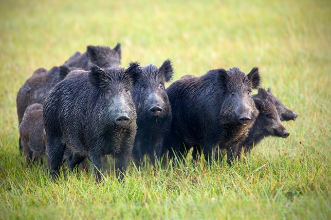 A herd of wild boars