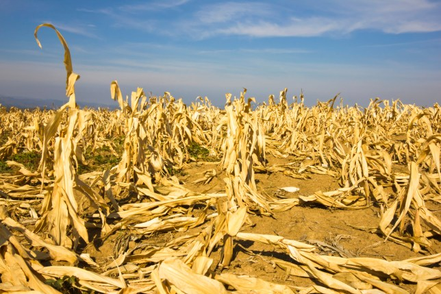 corn field devastated by drought