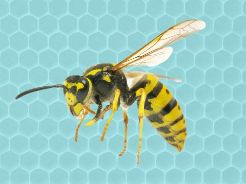 Experts say we could be in for a bumper wasp season this August – but it might not be a bad thing