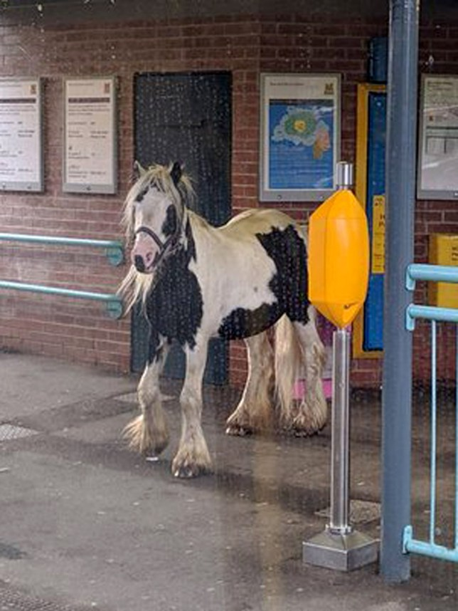 "Handout photo taken with permission from the Twitter page of Will Mapplebeck of a horse on the platform at Brockley Whins Metro station in South Shields. PRESS ASSOCIATION Photo. Picture date: Monday August 12, 2019. A Nexus spokesman said ?Brockley Whins is an unstaffed station so staff were sent out to deal with the incident. Before they got there a member of the public led the horse away and put it safely back into the nearby field that it had escaped from"". See PA story RAIL Horse. Photo credit should read: Will Mapplebeck/Twitter/PA Wire NOTE TO EDITORS: This handout photo may only be used in for editorial reporting purposes for the contemporaneous illustration of events, things or the people in the image or facts mentioned in the caption. Reuse of the picture may require further permission from the copyright holder."