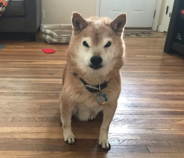 Chester is a very grumpy looking Shiba Inu