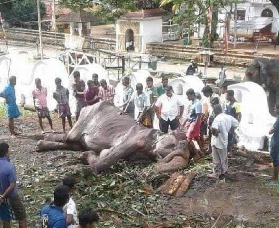 Tikiri exclusive Picture showing emaciated elephant Tikiri collapsed
