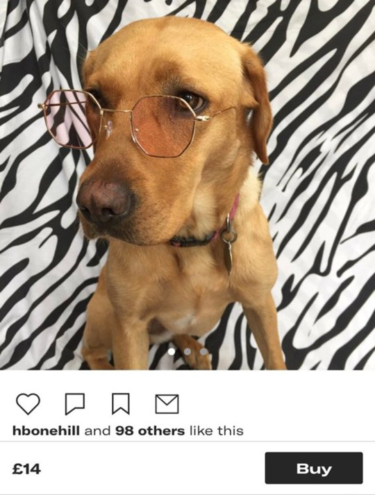 Chubby the dog wearing tinted spectacles