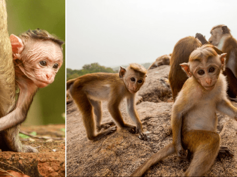Cheeky baby macaques try to operate camera equipment in latest Animal Babies