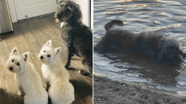 Dogs killed by blue-green algae
