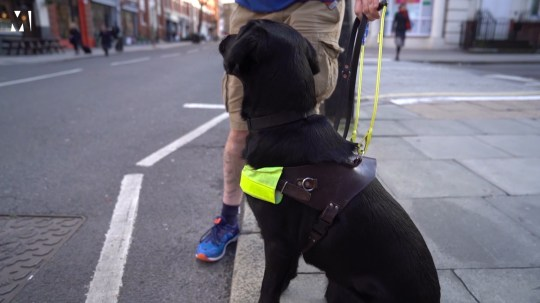 Oakey, a black labrador, looks both ways before crossing the street. He is sat at the curb, which is how he signals that his hadler has reached the end of the pavement. He wears a bright high visibility harness.