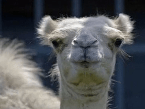 Woman had to bite camel's balls after she broke into his enclosure and he sat on her