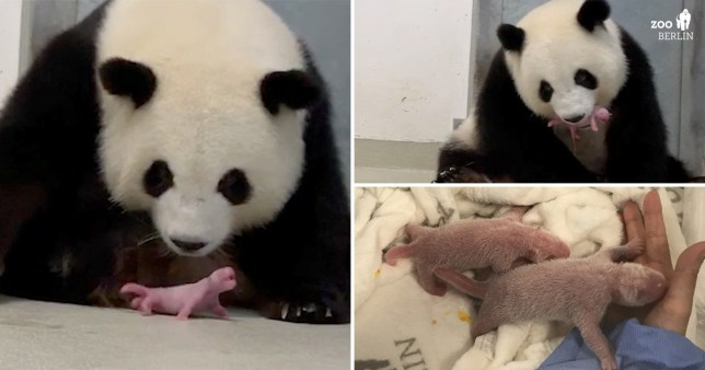 Panda gives birth to twins at Berlin Zoo
