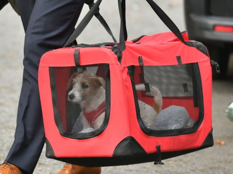 Boris Johnson's rescue dog arrives at new home in Downing Street