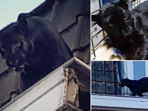 Black panther spotted prowling on rooftops
