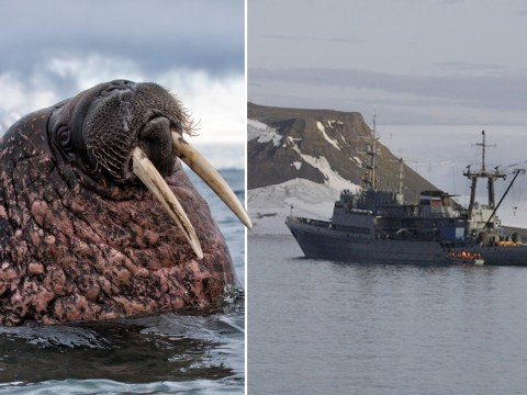 Walrus sinks Russian Navy vessel that got too close to its calf