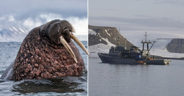 Walrus attacks and sinks Russian navy boat on Arctic mission