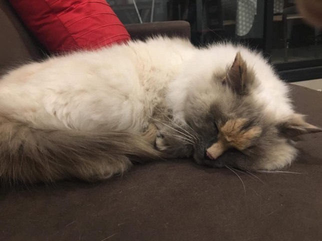 daisy the ragdoll cat has a penis marking on her head