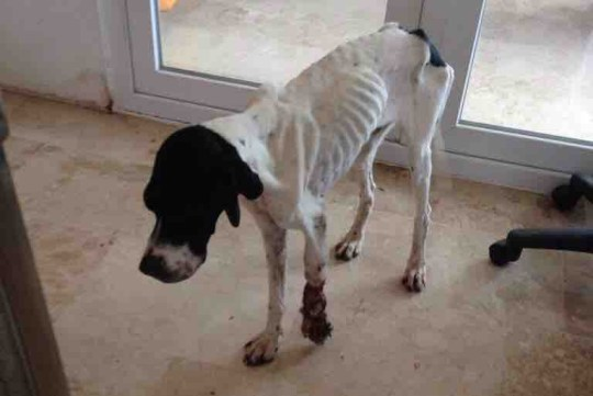 My name is Popsey. I am a 4 1/2 year old female English Pointer currently living in Turkey. I was found in February 2016 in a terrible state with horrendous injuries to my left foot and lower leg. I was in so much pain and had been left like this suffering for weeks. A kind lady spotted me and immediately knew she had to help, so she picked me up and took me home. We visited a place called 'the vets' where it was clear that my foot and leg were beyond help and nothing could be done to save them, my foot was completely flat and my leg was rotten. The vets did all they could to help me and had to amputate my complete leg. After spending a few weeks convalescing with my foster mummy and adjusting to life with only 3 legs, numerous pleas were made to find me a home but all were unsuccessful. I was taken to a shelter in Kas where my foster mummy worked as she was unable to keep me herself and I had been there ever since! In August 2019, in an attempt to finally find me the loving home I so deserve, a post was sent across the world of Facebook where it was seen by another kind lady who knew she had to help! Little did I know that this was to be my lucky day! The lady contacted The Pointer Rescue Service in the UK to ask if there was any way they could help... The day that contact with The Pointer Rescue Service was made, two of their volunteers were at Salisbury hospital as one of them was a patient there for a few days. Whilst spending sometime in the sunshine outside the hospital that day they bumped in to a man called John and they all spent a couple of hours chatting. When John heard about me, he fell in love and instantly wanted to know more! John could completely understand and sympathise with my situation as he is also an amputee...