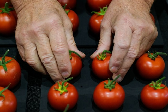 HARROGATE, ENGLAND - SEPTEMBER 13: Tomatoes are judged during judging for the giant vegetable competition at the Harrogate Autumn Flower Show on September 13, 2019 in Harrogate, England. The UKs premier Autumn gardening show is taking place at the Great Yorkshire Showground this weekend with up to 40,000 visitors expected to attend the 3-day event. The centre piece for the show will be the Back to the Future floral display that aims to capture the essence of Newby Hall and Gardens which will become the new home of the Autumn Flower Show in 2020. Harrogate Flower Shows are organised twice a year by the North of England Horticultural Society, a leading gardening charity set up in 1911 to promote horticulture across the north. The 2019 event will be the 44th Autumn show, which was originally held in the towns Valley Gardens, before moving to the Exhibition Halls in 1983 and the Great Yorkshire Showground in 1995 (Photo by Ian Forsyth/Getty Images)