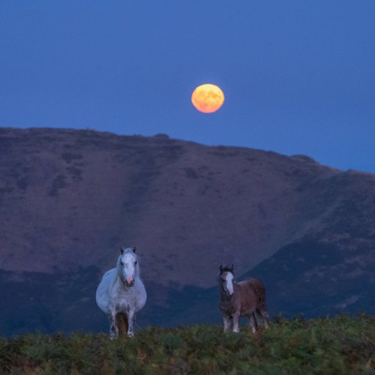 Stunning photographs show a couple of wild ponies kissing on a beauty spot under a full moon as their foal looks on. See SWNS story SWMDpony; Wildlife photographer Andrew Fusek Peters captured the intimate family portrait on the Long Mynd, Shrops., looking over the Caer Caradoc hill, as a full moon rose at around 7.30pm on September 14. The ponies are owned but are free to live a wild life and graze all year round on the Long Mynd, part of the Shropshire Hills Area of Outstanding Natural Beauty. He used an Olympus EM1X and 40-150mm lens to get the shots. Mr Fusek Peters, 54, said: ???Ponies are quite affectionate, but to get that shot, with the two parents nuzzling while the foal looks on, is a perfect family portrait. ???What more can you want from a Harvest Moon? It???s just magical.