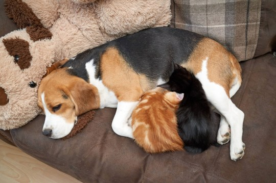 PIC FROM Simon Jacobs/Caters News - (PICTURED: Staplehurst, UK. Dexter (ginger) and Fletcher the kittens)- A dog and a pair of kittens have formed an unlikely bond after the faithful pooch became a mum to the kittens - and has even started NURSING her feline children.Daisy, a one-year-old Beagle, has become best of friends with nine-week-old kittens Fletcher and Dexter - so much so that the trio sleep in the same bed together and are guarded by the faithful pooch.The bond between them is so strong that owner Jane Whitton, 36, says that Daisy has even started nursing the two kittens and is producing her own milk for them.SEE CATERS COPY
