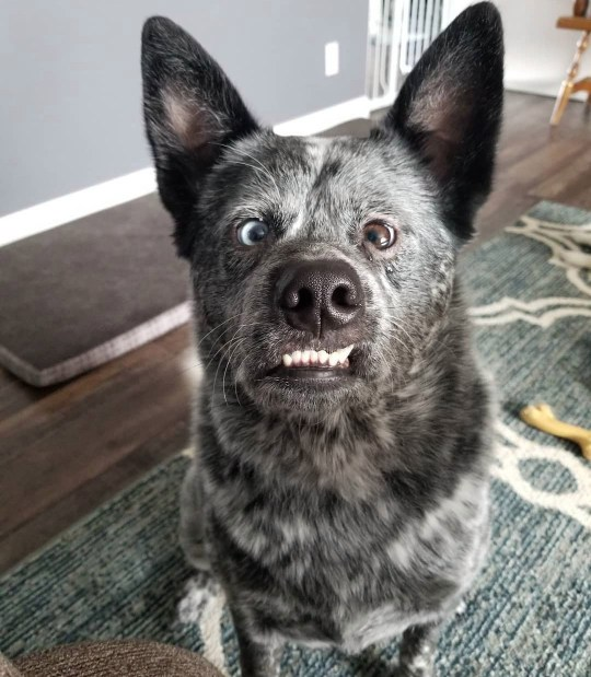 USA: Adorable: Moose' woener encourages people to love and respect dogs with disabilities as they're capable of just as much love in return. THIS ADORABLE pooch has parts of his brain missing, a crooked nose, and a huge underbite ? but he does have an ever-present smile and an owner who describes him as the ?happiest dog in the world?. Charming Moose, a three-year-old blue heeler or Australian Cattle Fog, was born with a deformed skull and several complications which only made themselves apparent after he was six months old. Faced with these difficulties, some dogs may have been abandoned by their owners or perhaps even put down. Fortunately for Moose, his squished brain and distinctive looks only ever made him more loveable in his owner?s eyes. Delightful photos of Moose show him as a tiny puppy with his striking, mismatched eyes; showing off his permanent grin; and donning a pair of novelty spectacles. Mediadrumimages/@MooseBoy16/JenniferOsborne