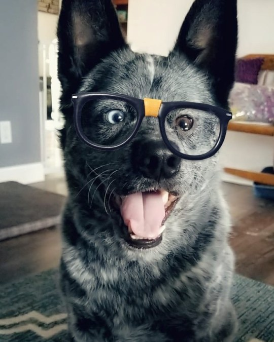 USA: Staying paw-sitive: Moose rocks a pair of spectacles. THIS ADORABLE pooch has parts of his brain missing, a crooked nose, and a huge underbite ? but he does have an ever-present smile and an owner who describes him as the ?happiest dog in the world?. Charming Moose, a three-year-old blue heeler or Australian Cattle Fog, was born with a deformed skull and several complications which only made themselves apparent after he was six months old. Faced with these difficulties, some dogs may have been abandoned by their owners or perhaps even put down. Fortunately for Moose, his squished brain and distinctive looks only ever made him more loveable in his owner?s eyes. Delightful photos of Moose show him as a tiny puppy with his striking, mismatched eyes; showing off his permanent grin; and donning a pair of novelty spectacles. Mediadrumimages/@MooseBoy16/JenniferOsborne