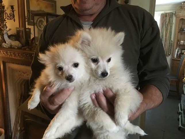Undated handout photo issued by Wiltshire Police of two Pomeranian puppies who along with a Cocker Spaniel have been stolen in a burglary. PA Photo. Issue date: Tuesday September 17, 2019. The 12-week-old white puppies, one male and one female, were taken from a property in Winchcombe, Gloucestershire. They were stolen along with a two-year-old female golden Cocker Spaniel, which was wearing a blue collar. See PA story POLICE Puppies. Photo credit should read: Wiltshire Police/PA Wire NOTE TO EDITORS: This handout photo may only be used in for editorial reporting purposes for the contemporaneous illustration of events, things or the people in the image or facts mentioned in the caption. Reuse of the picture may require further permission from the copyright holder.