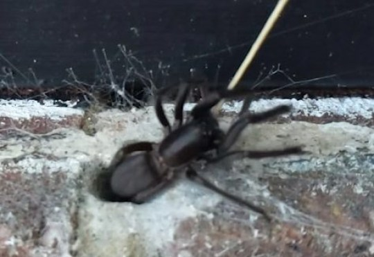 Spider in wall grabs