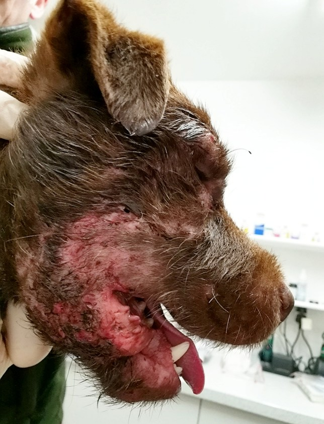 "These graphic photos show the horrific facial injuries a terrier dog suffered after being forced to fight with a badger by its cruel owners. See SWNS story SWLEdog. The Patterdale Terrier was rushed to vets by police officers for treatment to the right side of its face, which had been cut and scarred during the badger baiting incident. The shocking photos show the wounds to his skin around the two-year-old pup's eye, which police said were ""clearly"" caused from it being forced down a badger sett to fight. He was left with puncture wounds, which were cleaned out by vets who administered anti-biotics and pain medication. Officers have branded the act ""cruel and barbaric"" and said the dog's owners left him behind when they fled the scene as police arrived. The two men were seen digging at an active badger set in an open field in Chinley, Derbyshire, by the landowner who challenged them twice. Police were called and the men left in a Silver/Grey large 4x4 Crew cab Type vehicle with a grey rear load bed canopy on Sunday, September 15."